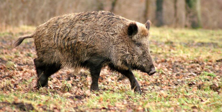 jabali-ppa-peste-porcina-africana