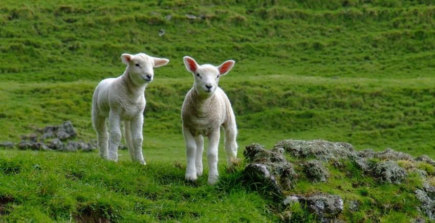 corderos-El Aid Kabir-melilla
