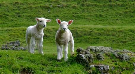 El Ministerio de Agricultura, Pesca y Alimentación completa la regulación de la entrada de corderos a la ciudad de Melilla