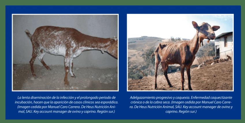Epidemiología-de-la-Paratuberculosis-en-granjas-caprinas-lecheras-de-Andalucía