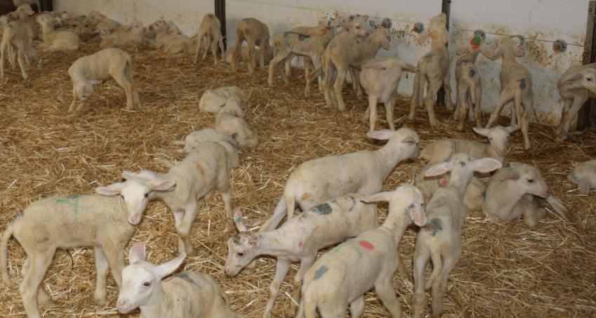 Plan 360 de Recría de Corderas y Cabritas por parte de De Heus Nutrición Animal