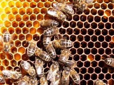 panal con polen y miel