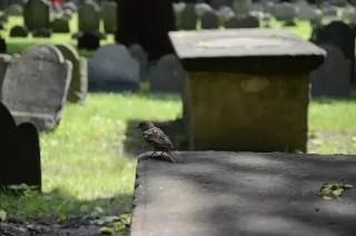 Gorrión observando desde la lápida