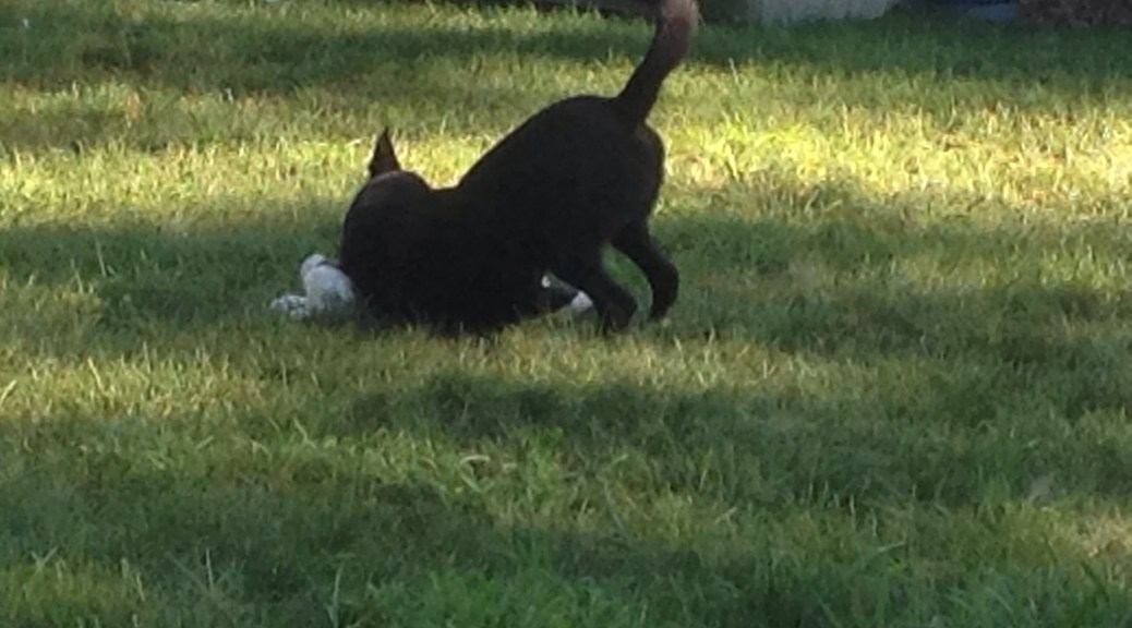 Merlin wrestling with puppy in grass