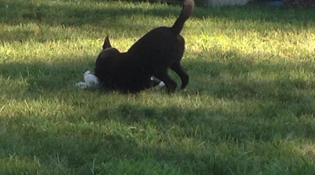 Merlin wrestling with puppy in grass