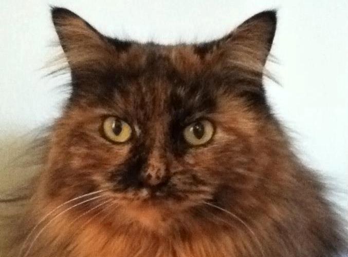 Belle, tan & black longhaired kitty