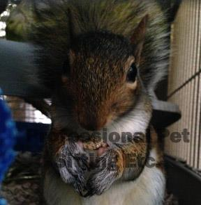 Orphaned grey squirrel