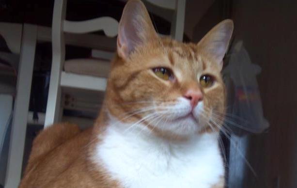 Orange tiger with white kitty closeup