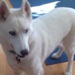 Mystic, white siberian husky standing