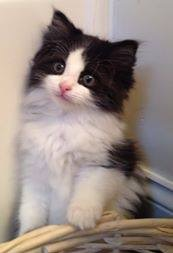 One of the fluffy black and white kittens