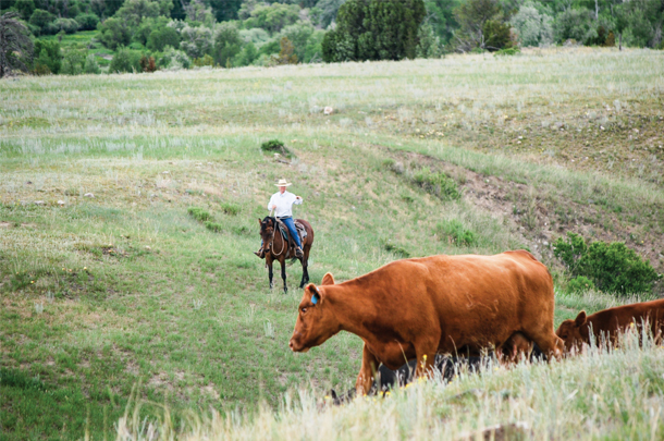 Cattle moving with low-stress