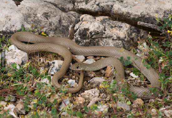 Τα βασικότερα είδη φιδιών στην Ελλάδα: Ασινόφιδο (Asinella austriaca)