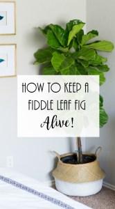 Fiddle Leaf Fig Care. Fiddle leaf fig watering instructions, Keep fiddle leaf fig alive