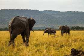Elephants in Maasai Mara Kenya