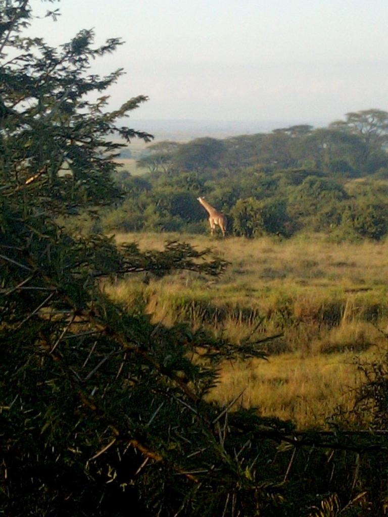 A giraffe visiting me outside my home office