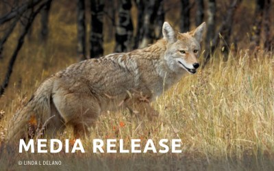 Coyote and Fox Live Bait Training and Penning Condemned as Unethical and Ecologically Reckless