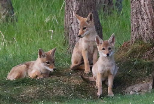 Davis cuts ties with Wildlife Services over coyote killings