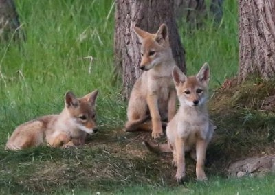 Superior launches Coyote Coexistence Plan