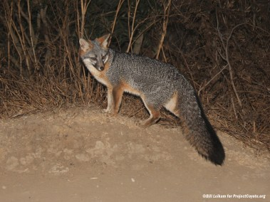 The Gray Fox of Western America
