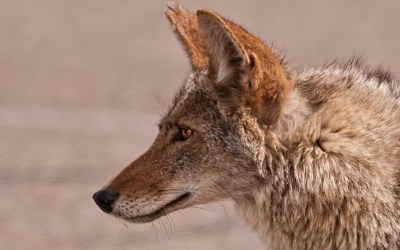 'Coyote America' author explains mini-wolves' role as an enduring American icon