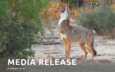 VICTORY! CALABASAS, CA VOTES TO END COYOTE TRAPPING