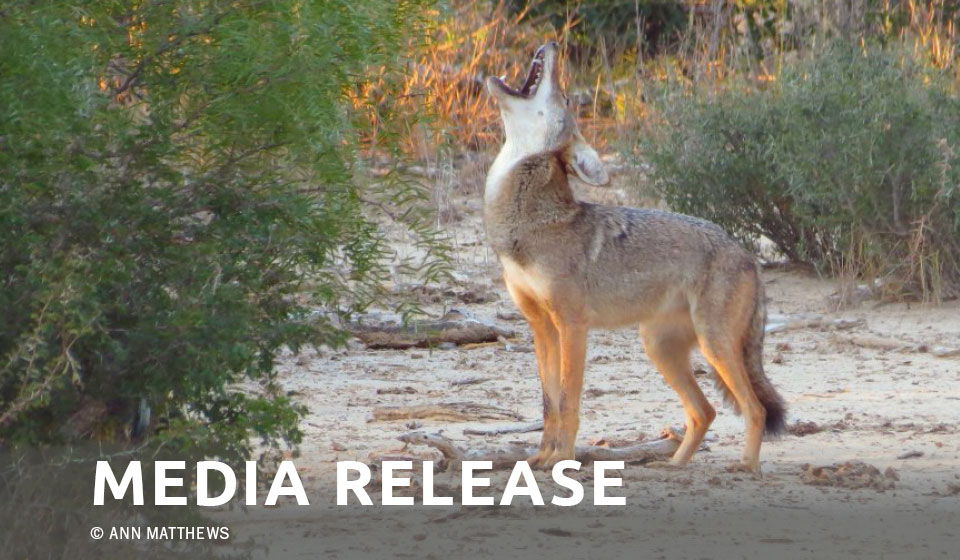 PROJECT COYOTE OFFERS $1,000 REWARD FOR INFORMATION IN SNIPER SHOOTING OF COYOTE IN LOS ANGELES