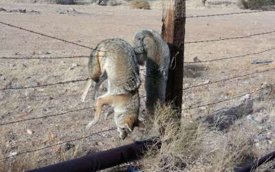 What Kind Of Jerk Kills Coyotes For Fun?