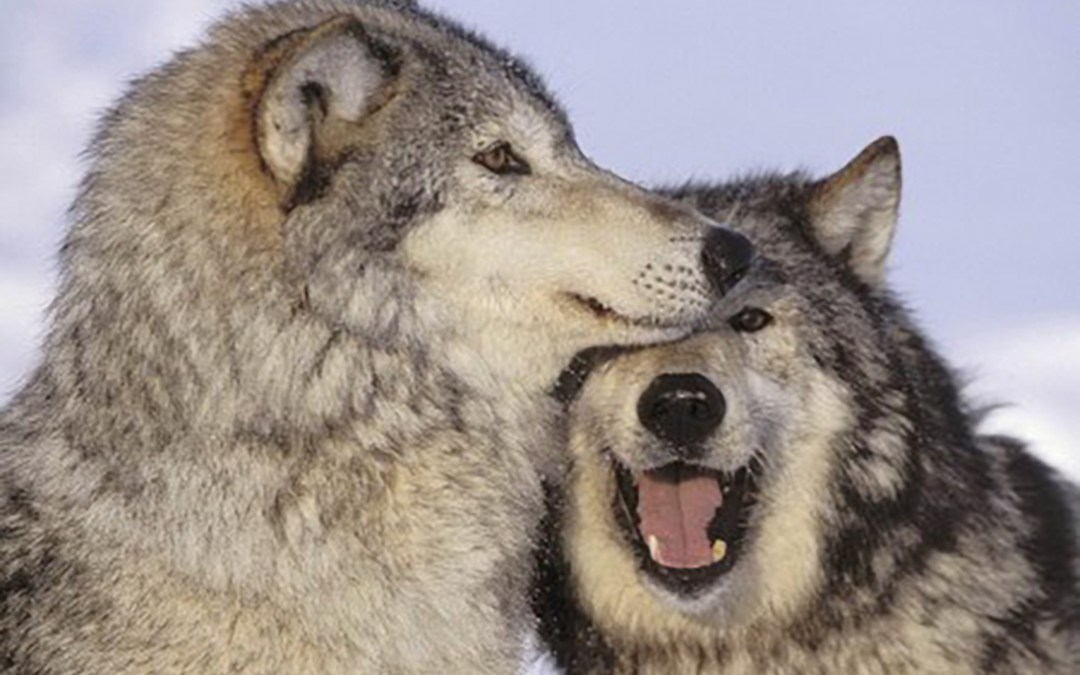 Project Coyote Science Advisor Dave Parsons Speaks Out on Plight of the Critically Endangered Mexican Wolf