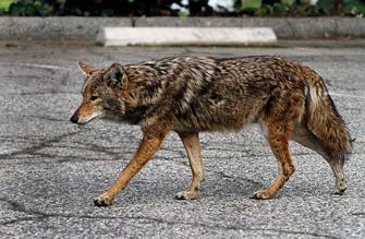 la-me-ln-city-council-animal-traps-335