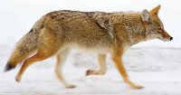 California City Pursues Good Neighbor Policy with Local Coyotes