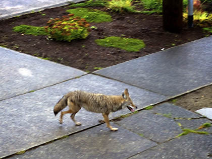 Coyote presentation set for Thursday, March 30