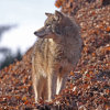 ACTION ALERT: Speak Out Against Dangerous Proposal to Allow Night Hunting of Coyotes in North Carolina