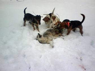 ACTION ALERT: Help Ban Coyote/Fox Penning in Indiana