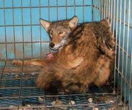 ACTION ALERT: Help Ban Coyote/Fox Penning in Florida