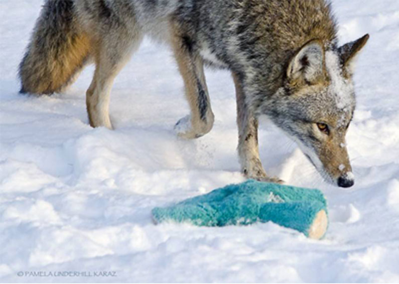 coyote-dog-1