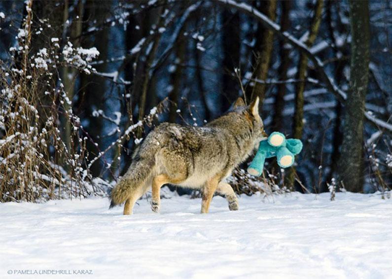 coyote-dog-11