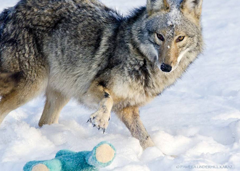 Coyote finds old dog toy, acts like a puppy