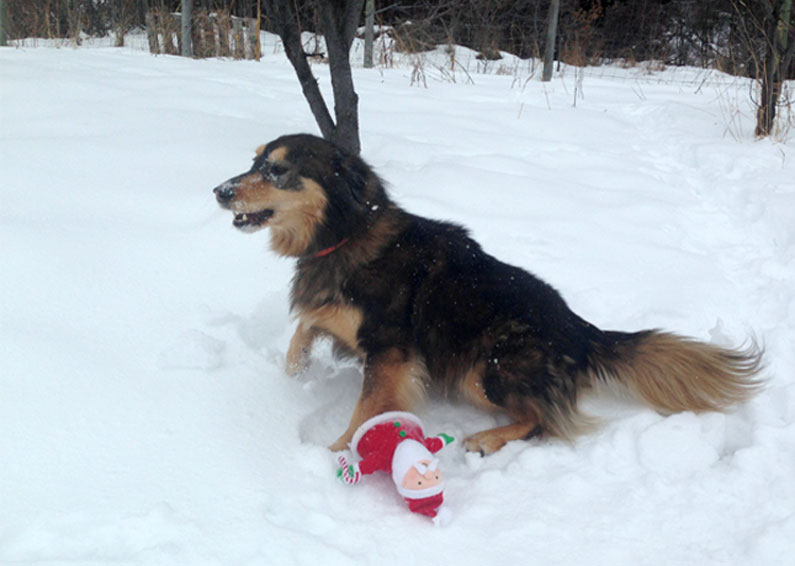 coyote-dog-8