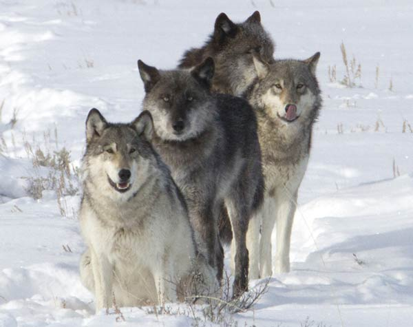 Wolf pack Lamar Valley Meg Sommers
