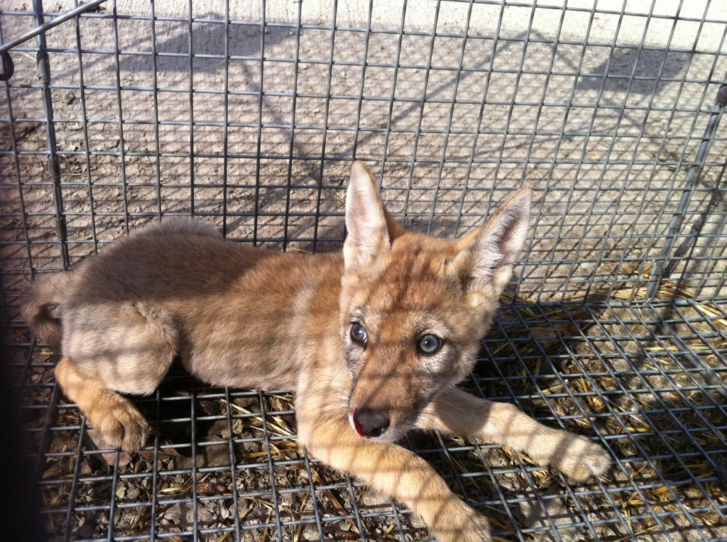 Wildlife Services and its eternal war on predators