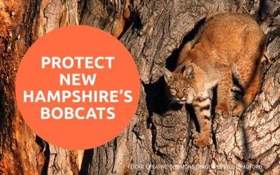PROTECT  NEW HAMPSHIRE'S BOBCATS