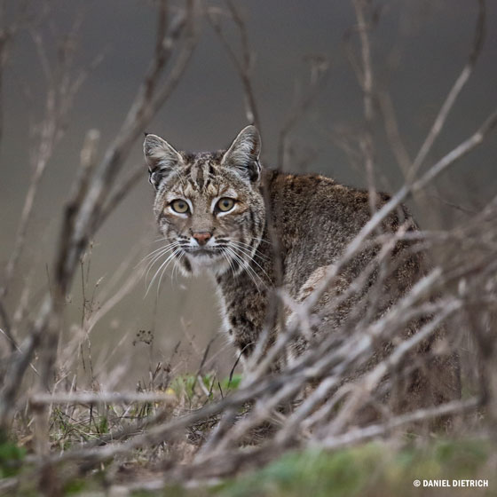 Bobcat © Daniel Dietrich