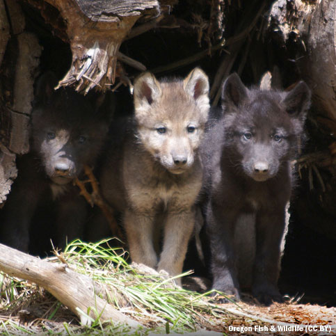 Wolf pups at den site in Oregon
