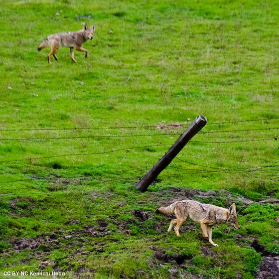 Coyotes near barbed wire fence