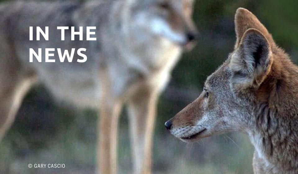 Scientists Condemn Controversial 'Coyote Challenge'