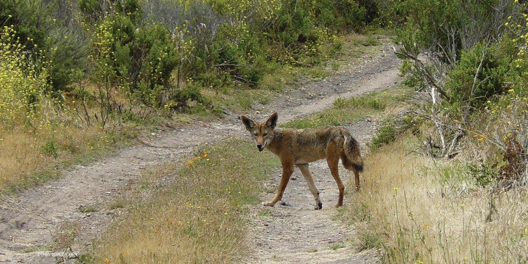 nftf-dan-flores-coyotes4