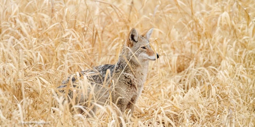 nftf-dan-flores-coyotes6
