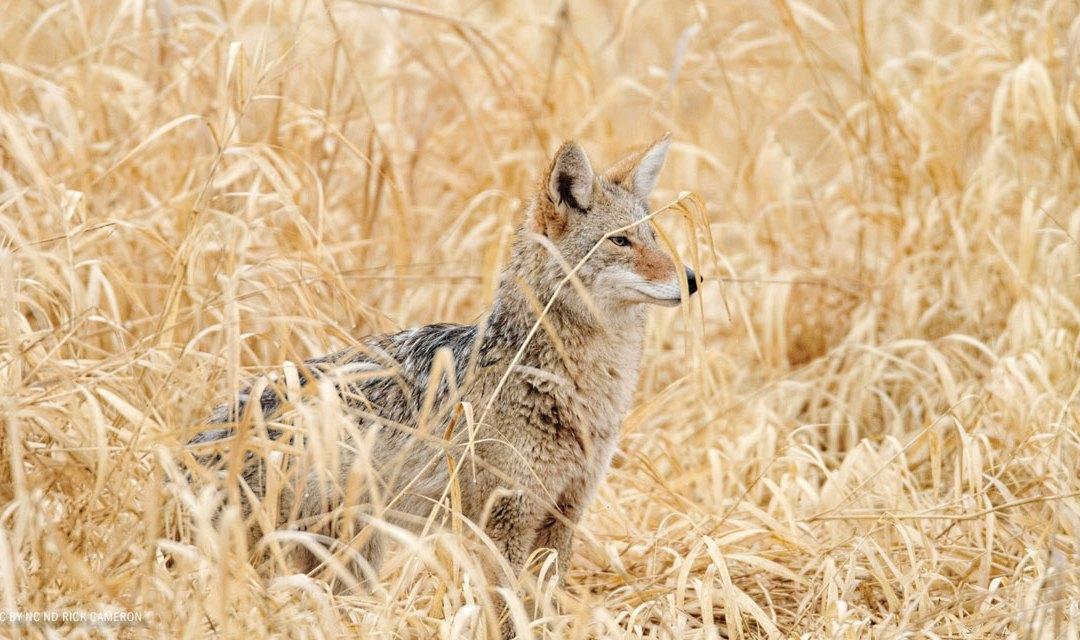 Conservation Groups Sue Over Wildlife-Killing Program in California