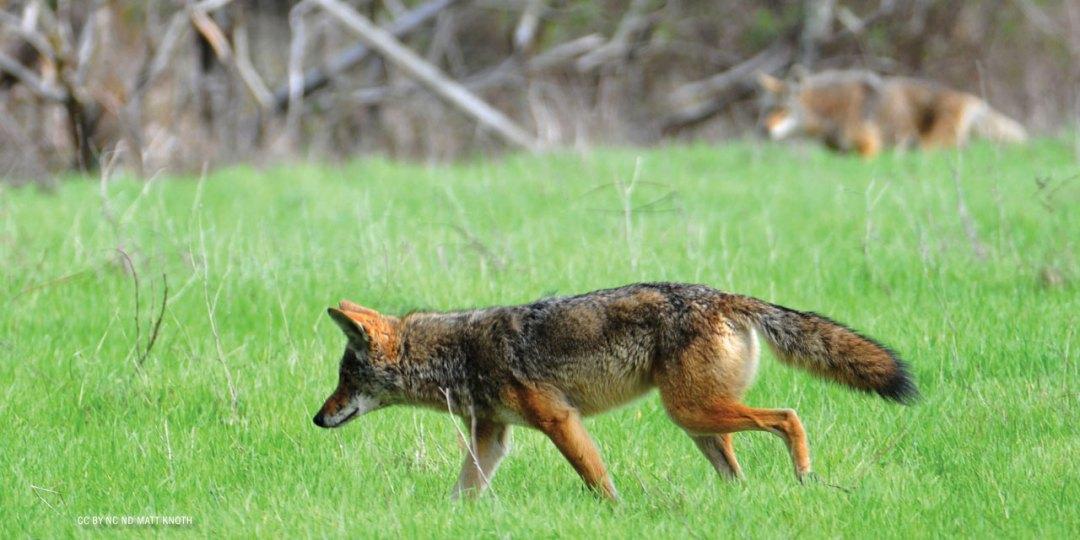 nftf-dan-flores-coyotes7