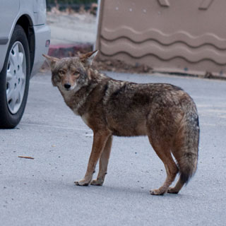 10 things to know about coexisting with coyotes in Beverly